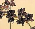 Fredclarkeara After Dark -台南國際蘭展 Taiwan International Orchid Show- (26080128067).jpg
