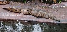 Freshwater crocodile.jpg