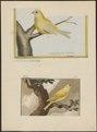 Fringilla canaria - 1700-1880 - Print - Iconographia Zoologica - Special Collections University of Amsterdam - UBA01 IZ16000059.tif
