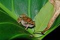 Frog in Curacao (1807360962).jpg