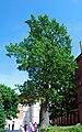 Frombork dab katedralny.jpg