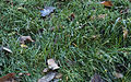 Frosted Grass (4065637148).jpg