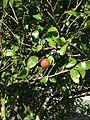 Fruit of camellia japonica 20151013.jpg