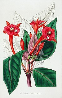 Fuchsia macrostigma (1858)