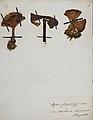 Fungi agaricus seriesI 061.jpg
