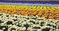 Furano flowers (7662400702).jpg