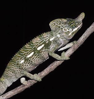 Labords chameleon Species of lizard
