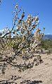 Gaianes, branques d'un cirerer en flor.JPG