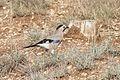 Garrulus glandarius - Eurasian Jay, Adana 2016-12-10 02-1.jpg