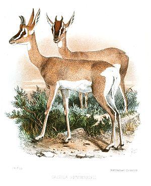 Soemmerring's gazelle - Illustration of Soemmerring's gazelle (1867).