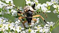 Gefleckter Schmalbock Rutpela maculata 0284.jpg