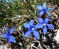 Gentiana verna. Spring Gentian - Flickr - gailhampshire.jpg