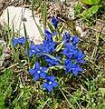 Gentiana verna in Avoriaz (2).jpg