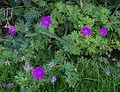 Geranium sanguineum Ankum's Pride.jpg