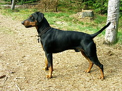 German Pinscher.JPG