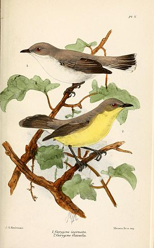 Plain gerygone - Plain gerygone (top), illustration by Keulemans 1879