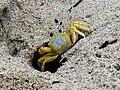 Ghost crab.jpeg