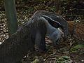 Giant Anteater (Myrmecophaga tridactyla) (7124588819).jpg