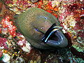Giant Moray Eel getting cleaned.jpg