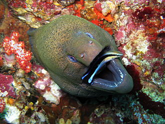 Cleaning symbiosis - Giant moray eel being cleaned by a bluestreak cleaner wrasse