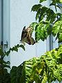 Giant Swallowtail laying eggs on my Wampee tree 002.jpg