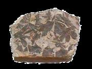 Ginkgo-Fossil aus dem Jura, Blätter aus der Cloughton Formation, Fundort: Scarborough, Yorkshire, England.