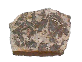 Gingko fossile-jurassique 0.png