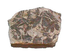 Ginkgoales - Jurassic Ginkgo leaves