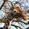 Giraffe head by Keven Law.jpg