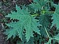 Girandinia diversifolia Anamudi shola Kerala IMG 1848.jpg