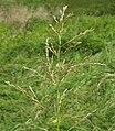 Glyceria maxima54 flowerhead5 (8685224246).jpg