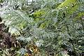 Glyptostrobus pensilis - Chengdu Botanical Garden - Chengdu, China - DSC03221.JPG