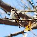 Gobemouche gris, Alger, sur les branches.jpg