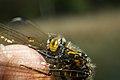 Golden Dragonfly.jpg