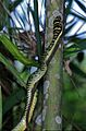 Golden Tree Snake (Chrysopelea ornata ornatissima) (7796629722).jpg