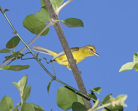 Golden Vireo cropped.jpg