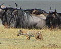 Golden Wolf, navigating Wildebeest, Ngorongoro.jpg