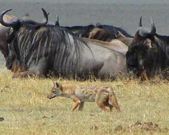 African golden wolf - A Serengeti wolf (C. a. bea) navigating through a herd of blue wildebeest in the Ngorongoro National Park, Tanzania