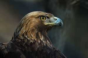 Culture of Albania - The golden eagle is the national symbol of Albania.
