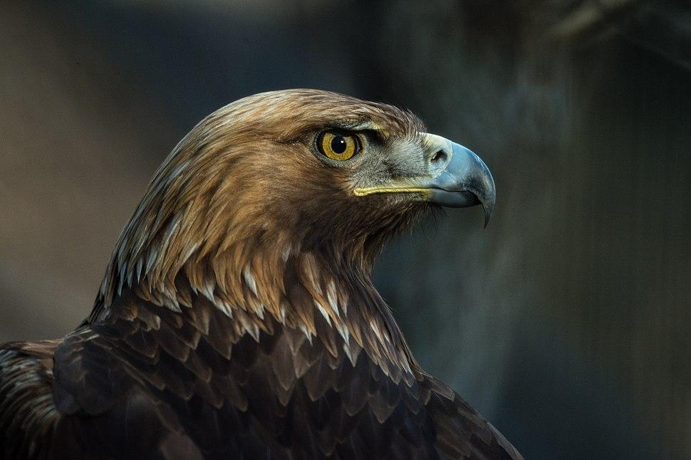 Golden eagle (13434882845)