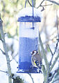 Goldfinch on bird feeder (4255833105).jpg
