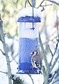Goldfinch on bird feeder (4255833105).jpg