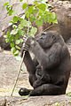 Gorilla Mom Eating Leaves and Holding Baby (18661919429).jpg