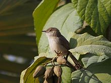 Graceful Prinia in tree 1.jpg