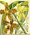 Grammatophyllum speciosum - Curtis' 86 (Ser. 3 no. 16) pl. 5157 (1860).jpg