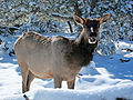 Grand Canyon Nat Park Elk (Cervus canadensis) in Winter.jpg
