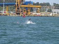 Grand dauphin Setubal.jpg