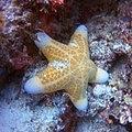 Granulated Sea Stars.jpg