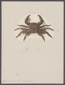 Grapsus varius - - Print - Iconographia Zoologica - Special Collections University of Amsterdam - UBAINV0274 094 04 0007.tif