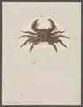 Grapsus varius - - Print - Iconographia Zoologica - Special Collections University of Amsterdam - UBAINV0274 094 04 0007.tif